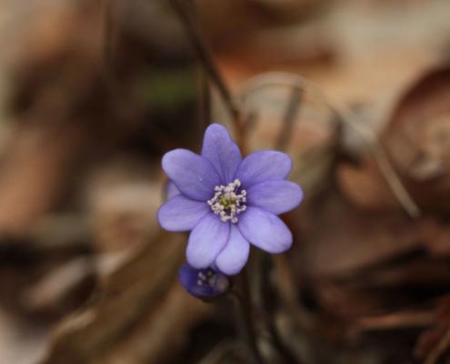 Leberblümchen im Striegistal