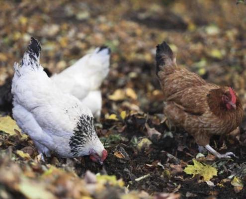 Hühner am Waldhaus Kalkbrüche