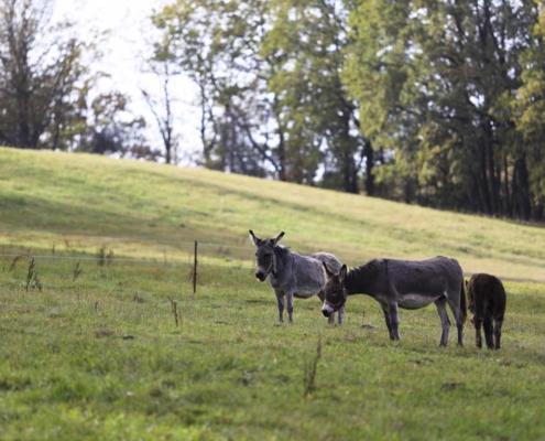 Esel am Waldhaus Kalkbrüche