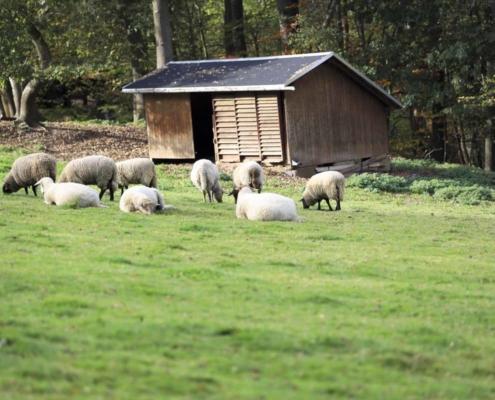 Schafe beim Waldhaus Kalkbrüche